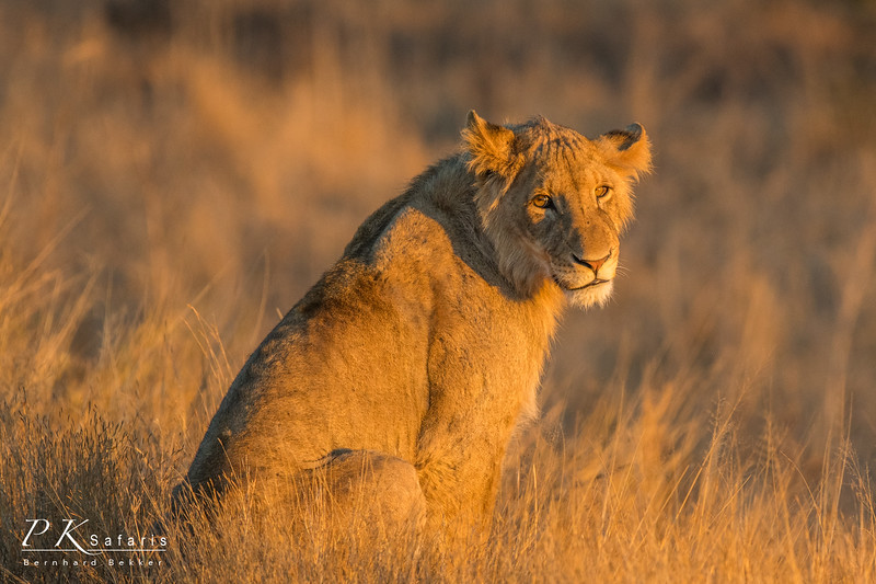 Young male lion at sunset