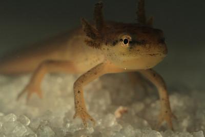 008 Eastern newts