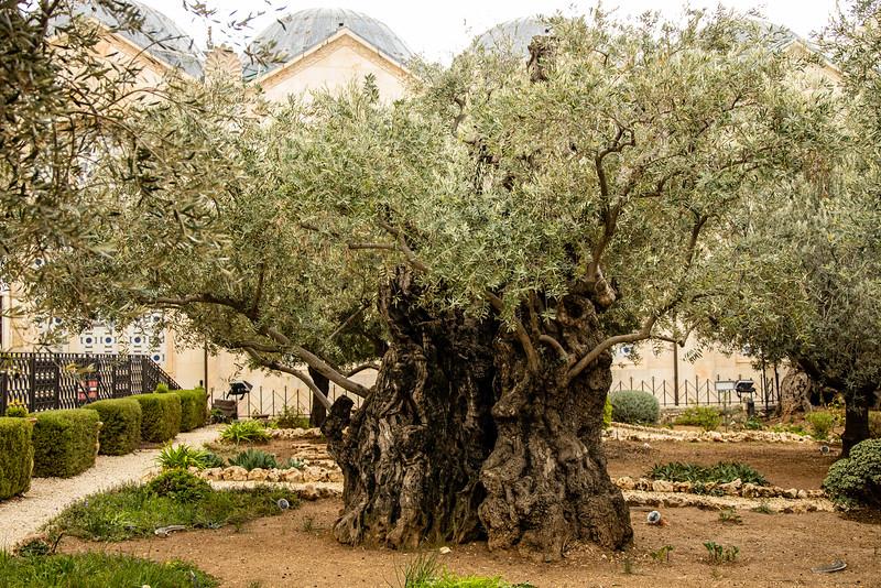 Olive tree in Garden of Gethsemane