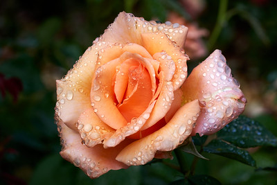 Pt Defiance Rose Garden August 27, 2021