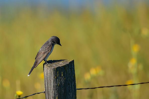 8-19-15 Eastern Kingbird