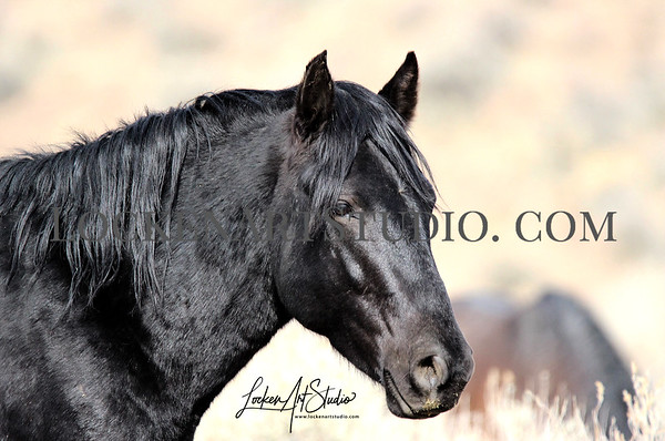 Mustangs Nevada December 2019