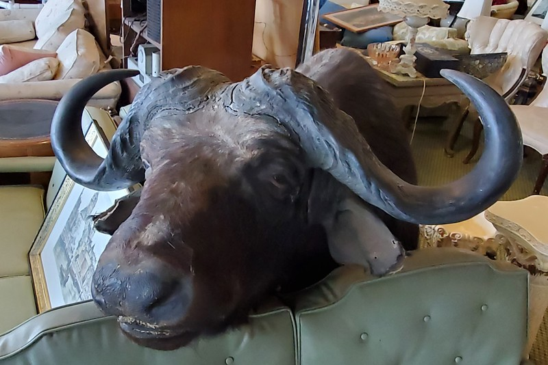 African Cape Buffalo Taxidermy