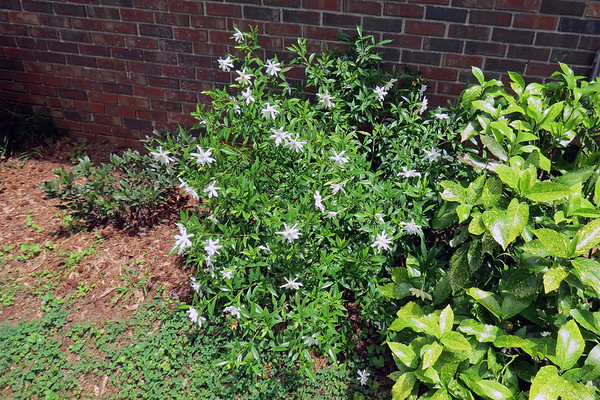 May 31:  The Frostproof Gardenia is blooming .  .  .