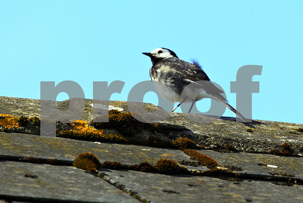 Birds: Ireland/Wales: Pack 1