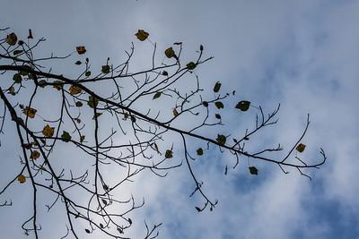 Liriodendron tulipifera (Magnoliaceae)