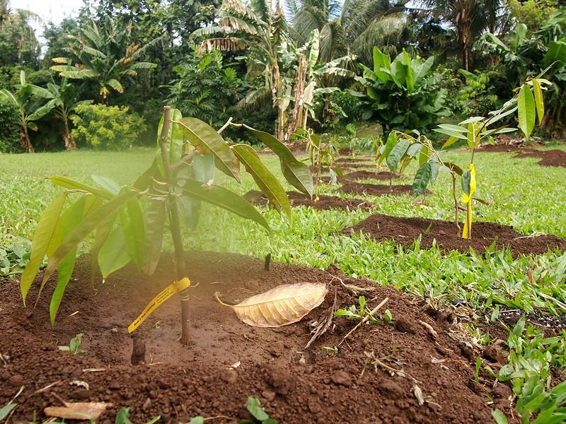 Tatura-Trellis-Durian-Hawaii.jpg