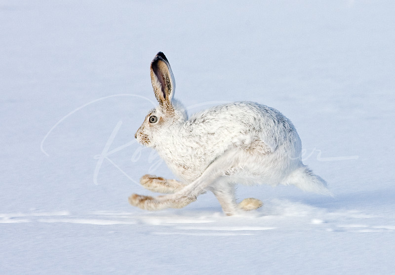 White Tailed Jackrabbit:  Naturescapes.net Image of the Week.