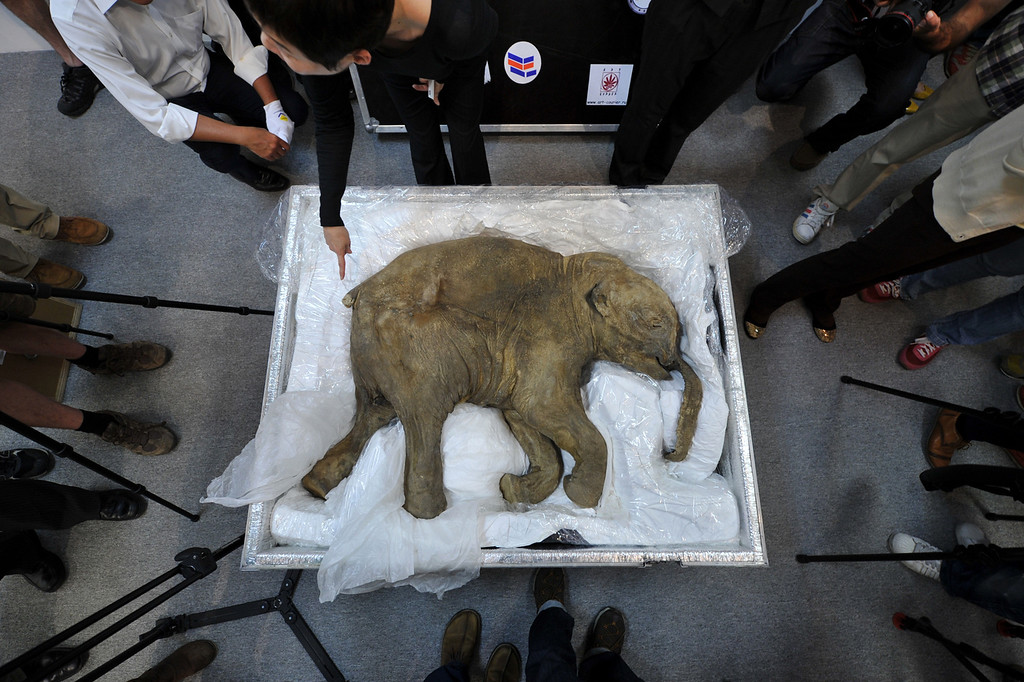 . The carcass of the world\'s most well-preserved baby mammoth, named Lyuba, is displayed in Hong Kong on April 10, 2012.  Lyuba, whose carcass is 42 thousand years old was found by a reindeer herder in Yamal Peninsula in Russia on 2007. She will be exhibited at IFC Mall in Hong Kong on April 12, 2012. (Aaron Tam/AFP/Getty Images)