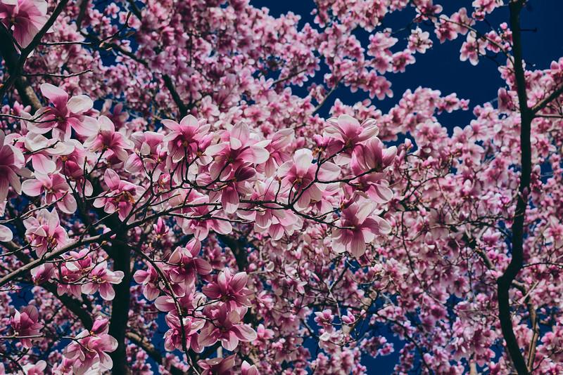 2021 Cherry Blossoms