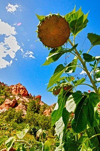 Sunflower at Slide Rock