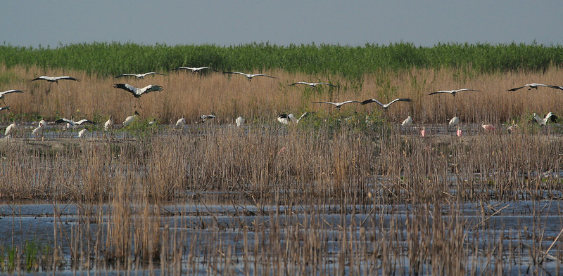 zAnahuac 8-21-14, Old T3i, 012A, Wood Storks and Spoonbills (1 of 1).jpg