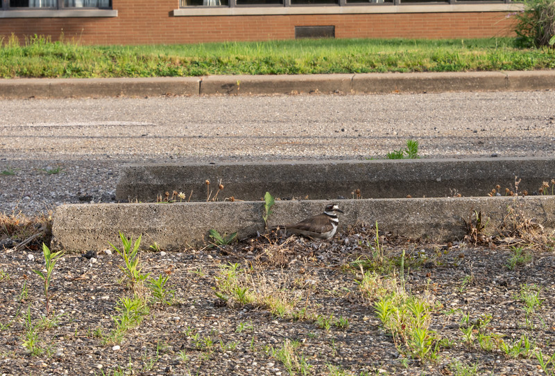 Killdeer-nesting-pickle-parkinglot.jpg