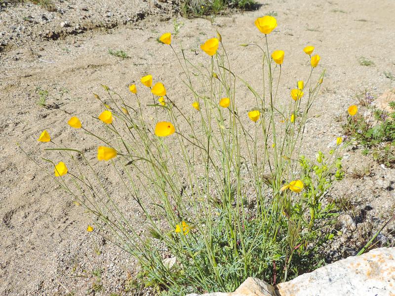 Parish's Poppy  (Eschscholzia parishii) PAPAVERACEAE