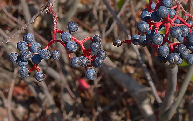 wild beries red stems.jpg