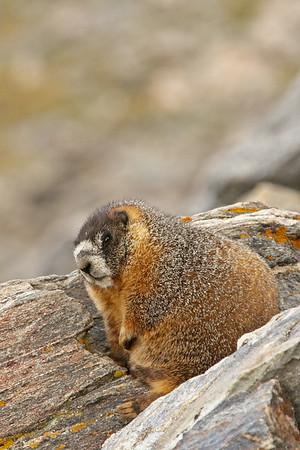 Pikas and Marmots