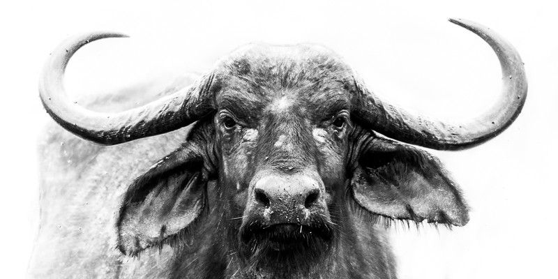 AF1T7652_buffalo_wide-original.jpg