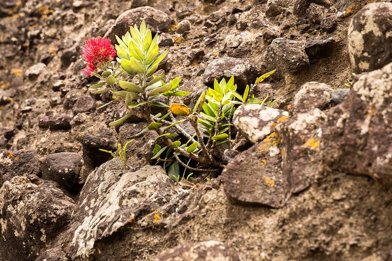 A young New Zealand Christmas bush growing through the rocks in Piha.