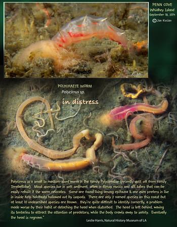 9.18.14 Polycirridae worm distress S .jpg