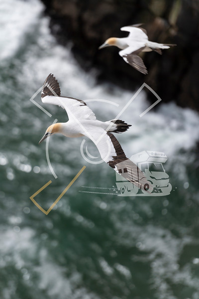 Adult australasian gannet in flight, flying along the cliffs of Muriwai beach and gannet colony
