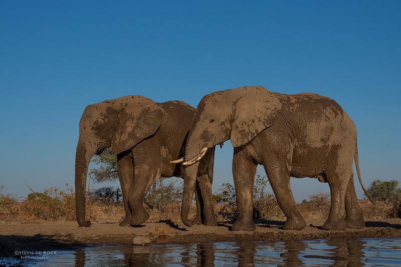 African Elephant, Mashatu GR, Botswana, May 2017-43.jpg