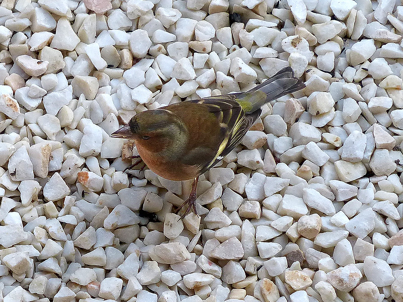 Male Chaffinch (email).jpg
