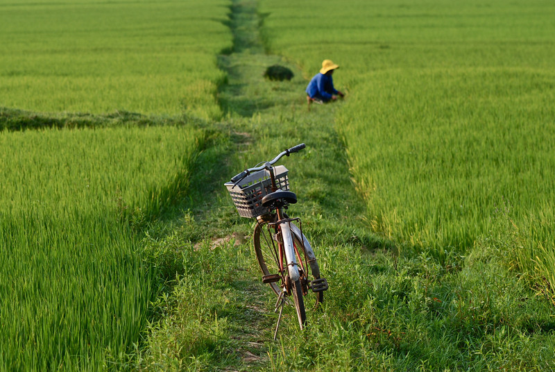 Worker in Rice Paddy, near Phong Nha Farmstay