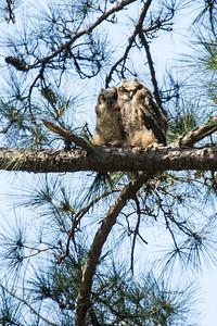 Owl  118
