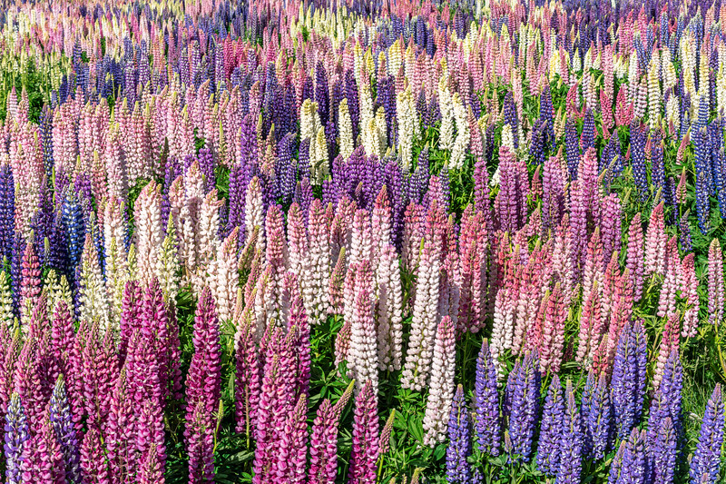 Some Lupine