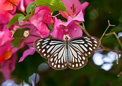 Pareronia Valeria - Common Wanderer / Парерония валерия - Странник