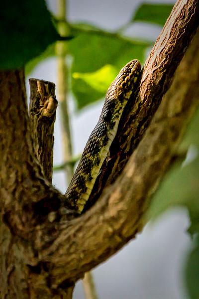 Dice Snake (Würfelnatter)