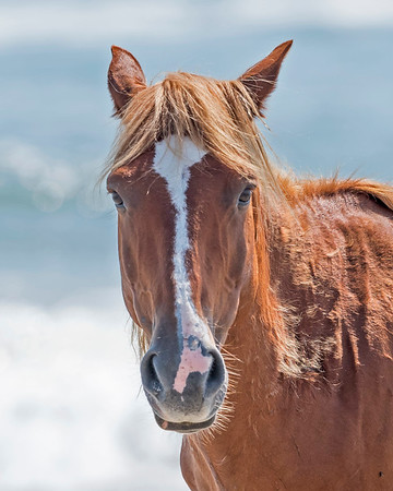 Wild Horses of The East Coast