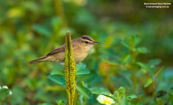 Reed Warblers and allies Family Acrocephalidae