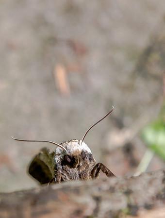 Promised Land Moth