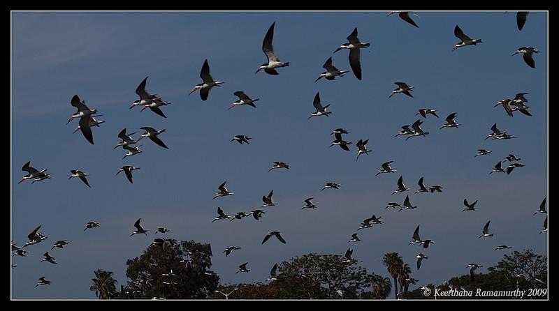 Black Skimmer, Robb Field, San Diego River, San Diego County, California, April 2009