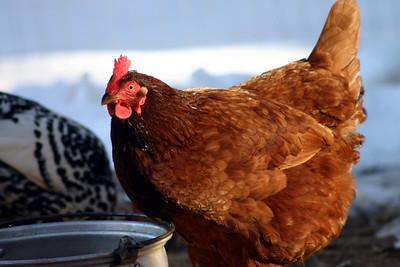 Oregon Ridge Chickens