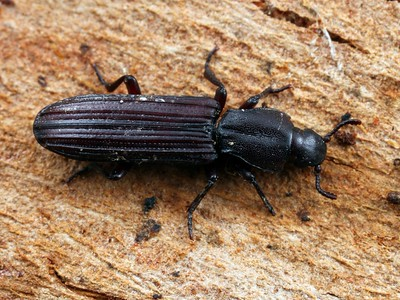 Bothrideridae - Dry Bark Beetles