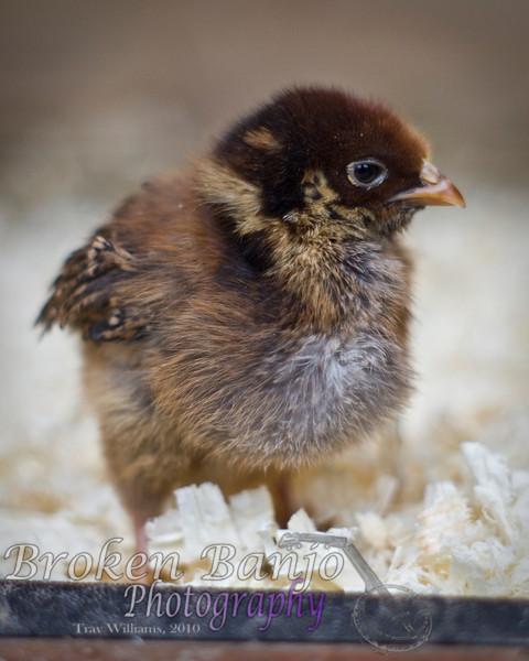 Chicks054high.JPG