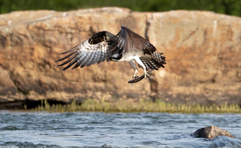 Osprey rock_DSC9415 copy.jpg