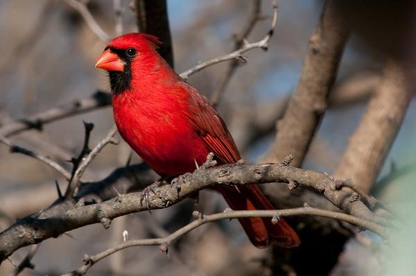 Cardinals 29Dec08