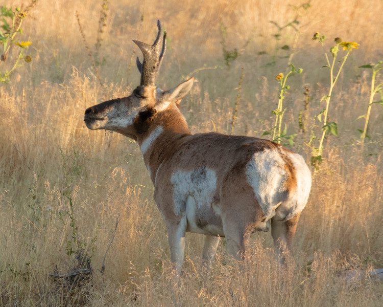 Pronghorn Antelope Buck, Smelling the Air for Danger