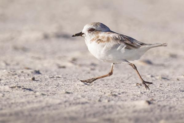 BIRDS - Shorebirds