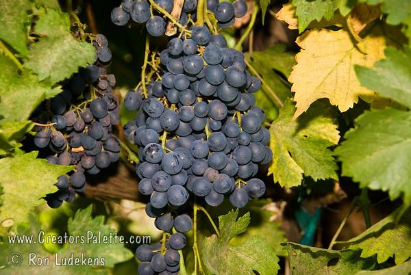 Black Emerald (Seedless) Grapes - Vitis vinifera