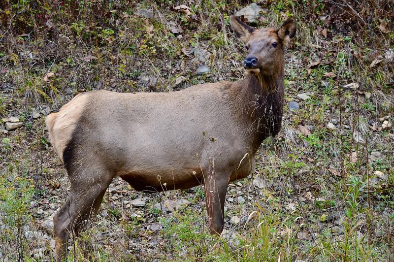 Ryle Lenzi Irwin Benzette PA Elk Cow 2019.jpeg