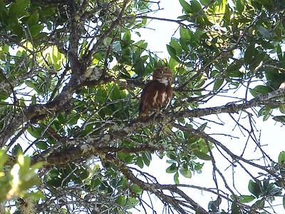 Costa Rican Pygmy-Owl (Glaucidium costaricanum)