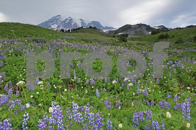 Mt. Rainier & lupine 2323.jpg