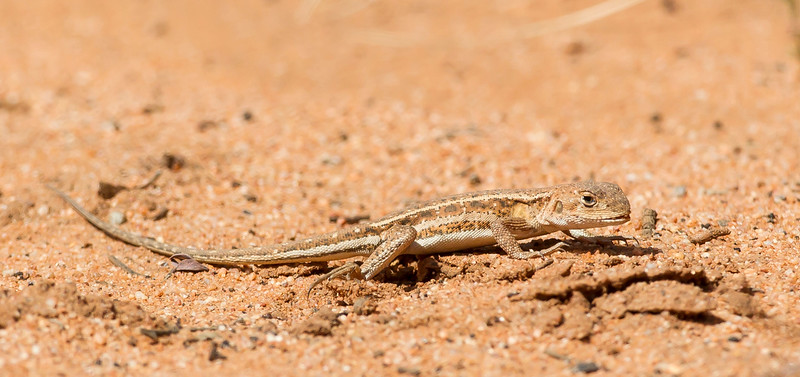 Mallee Military Dragon