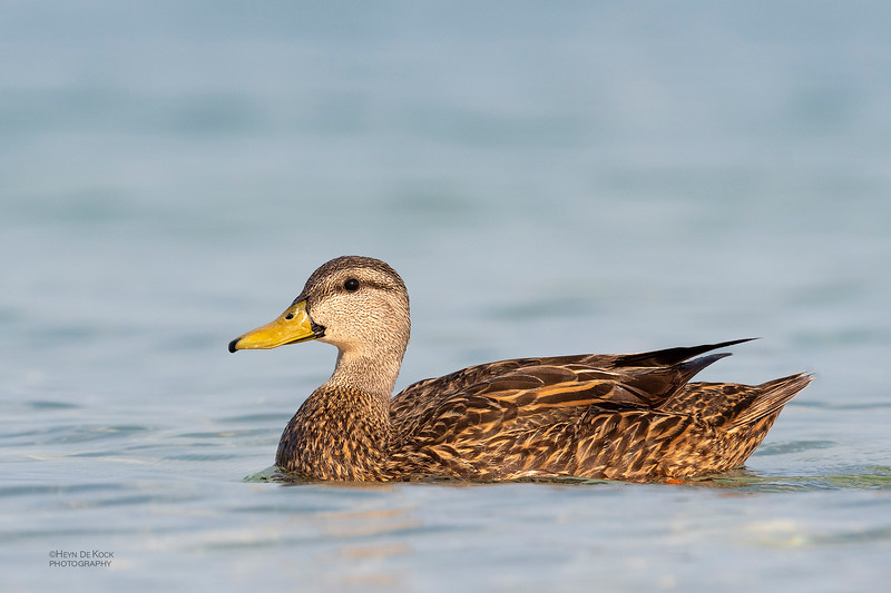 Mottled Duck, Fort De Soto, St Petersburg, FL, USA, May 2018-2.jpg