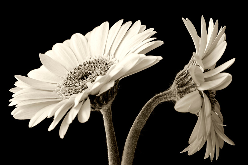 Gerbera black and white.jpg