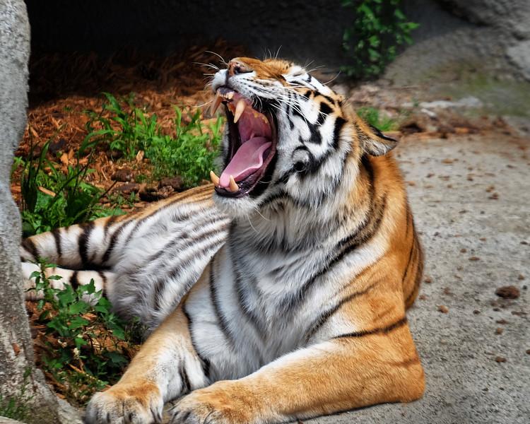 Detroit Zoo Tiger 01 Large.jpg
